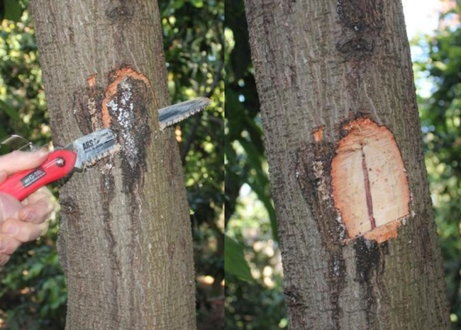 External symptoms of PSHB infestation, including sugar exudate, bark darkening, and wood staining due to Fusarium infection of the woody tissue (photo by M. L. Arpaia).