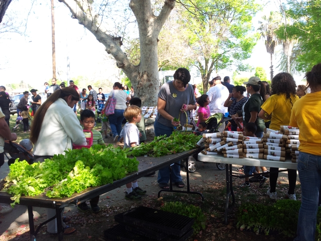 Families attending Parlier Earth Day collecting leaf lettuce transplants, strawberry crowns and information on healthy food choices at the KARE booth.