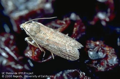 Adult raisin moth.