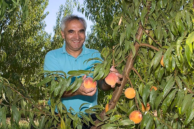 Carlos Crisosto examining a fresh market peach crop in a Central Valley orchard.
