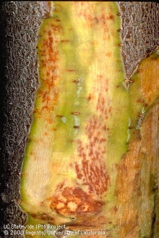 Reddish flecking symptoms of bacterial canker.