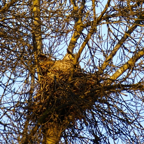 A great horned owl nesting in one of Kearney's parking lot trees.