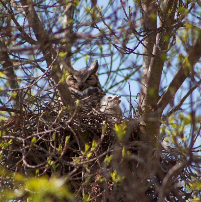 Female great horned owl at Kearney with one of her 4 nestlings.