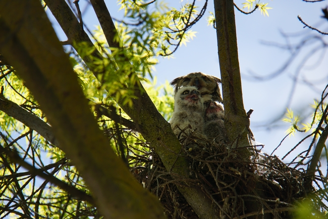 Mother great horned owl with fledglings in a nest at Kearney.