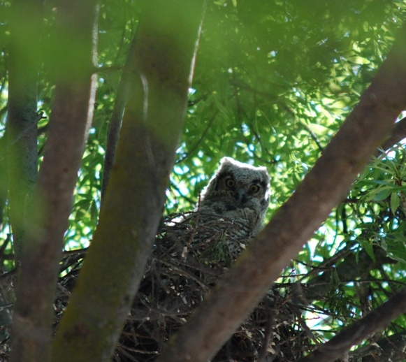 Branchling great horned owl looking at what is beyond its nest at Kearney.