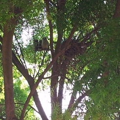 Three great horned owls at Kearney on a branch about 1 week before becoming independent.