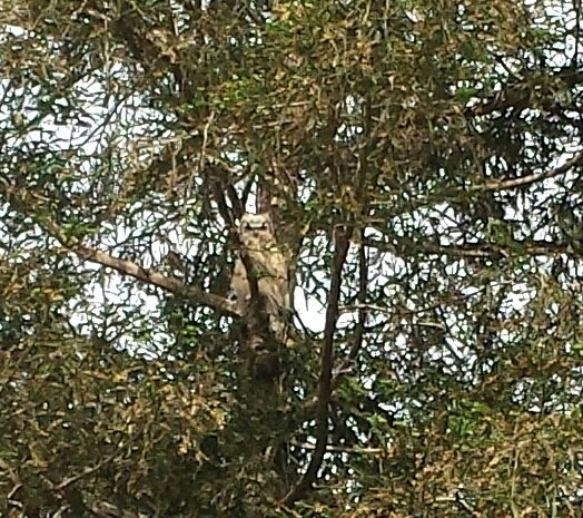 Juvenile and independent great horned owl remaining at Kearney.