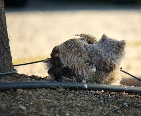 One great horned owl brancher at Kearney fell.