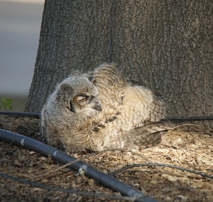 The great horned owl at Kearney that fell.