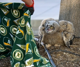Great horned owl at Kearney trying to resist being rescued.