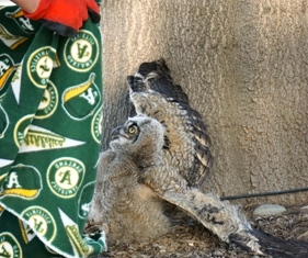 Great horned owl at Kearney resisting a rescue attempt.