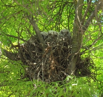 Young great horned owl fledglings at Kearney.