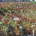 Sorghum being tested for epigenetic control of drought response at Kearney.