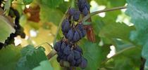 Sunpreme raisins drying on their own in a Kearney vineyard. for Kearney news updates Blog
