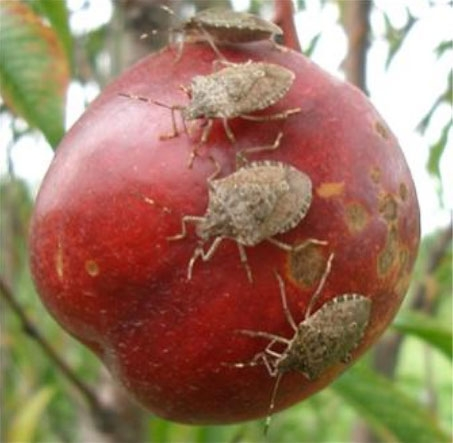 Brown marmorated stink bug (USDA photo)