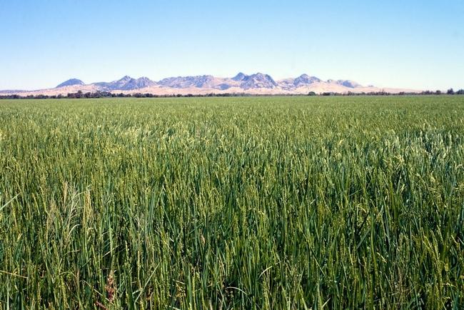 A California rice field.