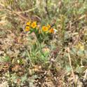 Fiddleneck on rangeland