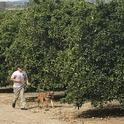 Canine checking trees at Lindcove Research and Extension Center, Exeter, Calif.