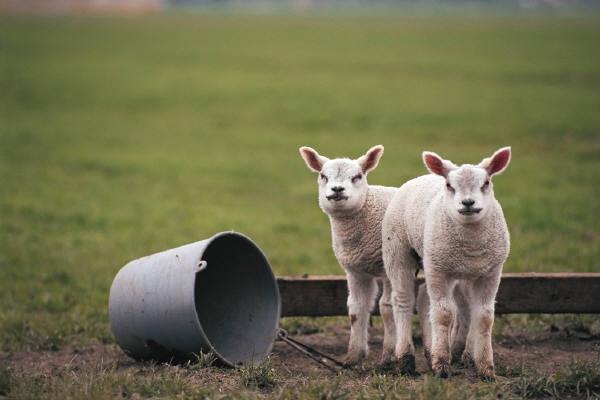 UCCE advisor Dan Macon has personal experience with direct marketing lambs. (Photo: USDA)