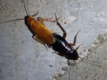 Figure 1. A mating pair of Turkestan cockroaches, Blatta lateralis. (Credit: A Sutherland)