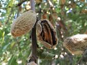 Image 2: Almond hull with Rhizopus hull rot. (Photo: Phoebe Gordon)