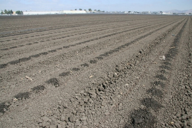 Photo 1. Seeded lettuce field being germinated with buried drip.