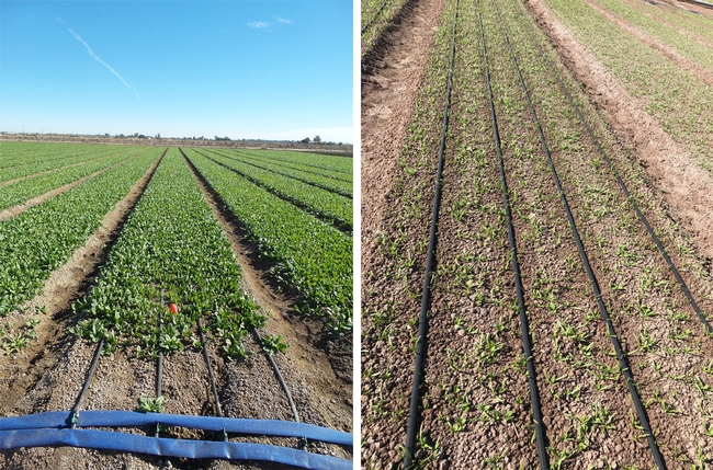 Figure 1. Spinach production under drip (80-inch bed with four driplines). The pictures demonstrate individual beds with four driplines at 1.5-inch depth 30 days after planting (left picture) and on the soil surface 12 days after planting (right picture).