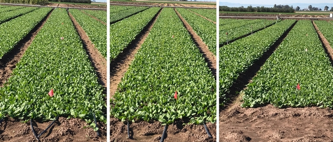 Figure 2. Visual comparison of the drip treatments versus the sprinkler treatment 38 days after planting in the fall 2018 experiment. Left and center pictures demonstrate the 4-dripline located in 1.5-inch depth treatment and the 3-dripline located in 1.5-inch depth treatment, respectively. Right picture demonstrates the sprinkler treatment.