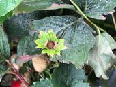 Figure 1. Close up of strawberry flower dud. Note brown color which indicates the fruit will not develop.
