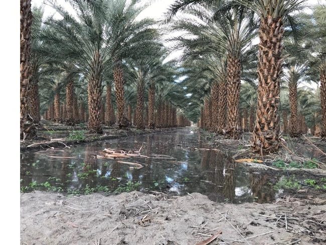 Figure 2. Mature date palm irrigated by flood system in Thermal.