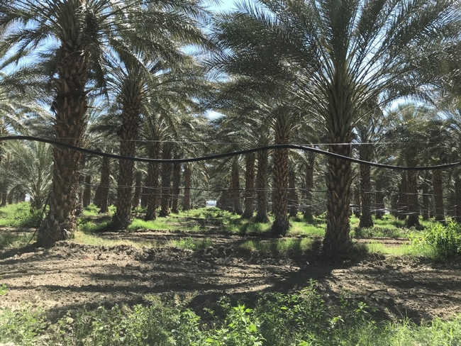 Date palm equipped with drip irrigation in Coachella.