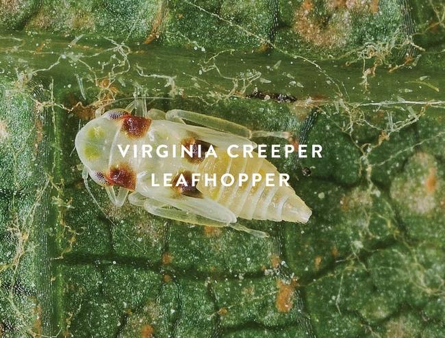 Virginia-creeper-leafhopper