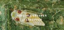 Virginia-creeper-leafhopper for UC ANR Knowledge Stream Blog