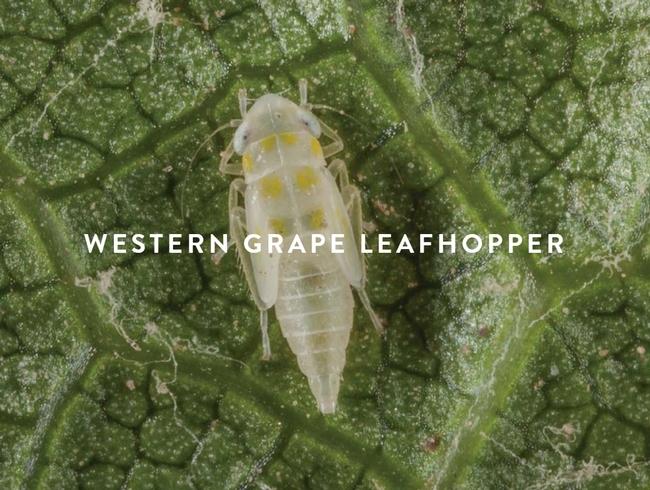 Western-grape-leafhopper