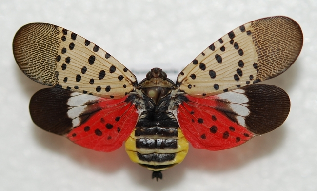 An adult spotted lanternfly with its wings spread.