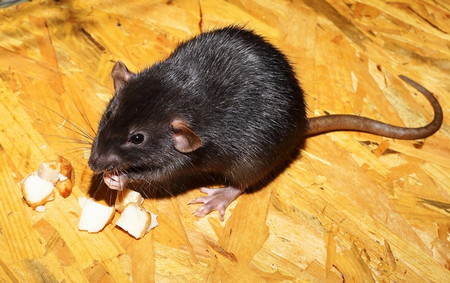 Before trapping, make sure you know what rodent pest you have.  (Photo: Karsten Paulick from Pixabay)