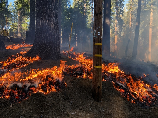 The prescribed fire at Blodgett Forest reduced surface fuels and killed young tree seedlings, inhibiting the future development of a ladder fuel layer.