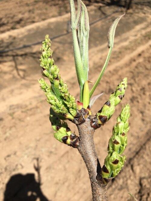 Female pistachio flowers.