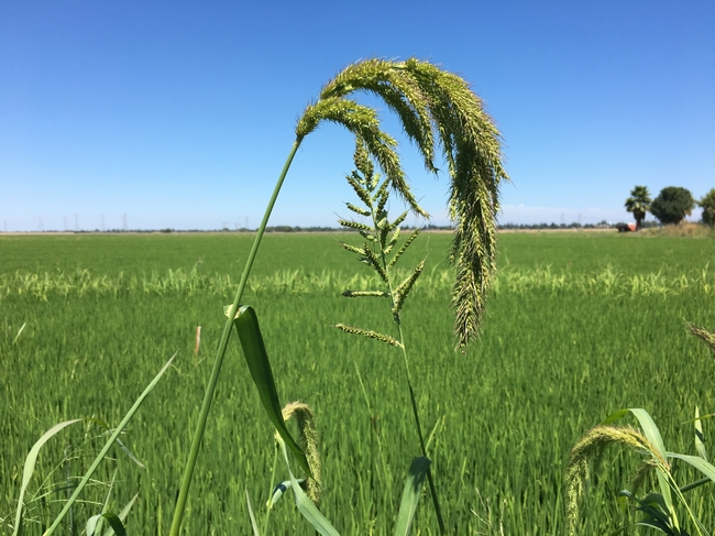 Weed management in rice crops can account for roughly 17 percent of total operating costs.