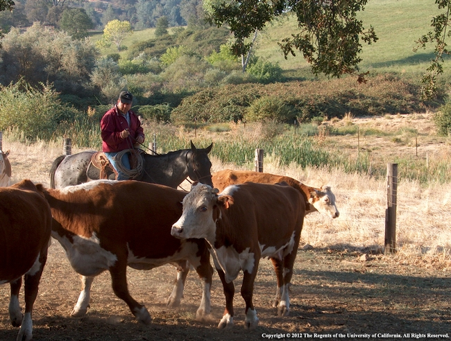While cattle still require care, ranchers should practice social distancing and other safety precautions.