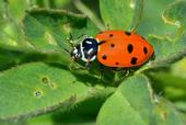 Figure 1. An adult convergent lady beetle (Hippodamia convergens), an important aphid predator in alfalfa.