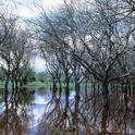 A flood irrigated walnut orchard irrigation. (Photo: Jack Kelly Clark, UC IPM)