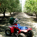 Photo 2. In trial work in the late 1990's and early 2000's in the southern San Joaquin Valley, Lampinen and others noted very similar leafing failure symptoms on Monterey on Nemaguard trees in 2006 (right). Only Monterey trees in the wet treatments showed the symptoms and symptoms were never seen on Monterey in the dry treatments (photo by Sam Metcalf).