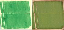 Figure 1. A field in Solano County where three N-rich reference strips are visible at tillering using a canopy reflectance measurement (left), but not visible to the naked eye (right). for UC ANR Knowledge Stream Blog