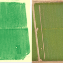 Figure 1. A field in Solano County where three N-rich reference strips are visible at tillering using a canopy reflectance measurement (left), but not visible to the naked eye (right).