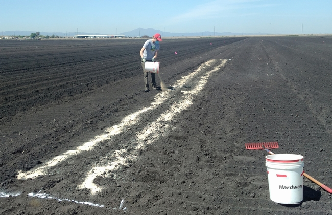 The author, Megan McCaghey, applies the chitin amendment the the soil in a sclerotia survival component of the integrated management trial. (Photo: Dr. Kelley Paugh)