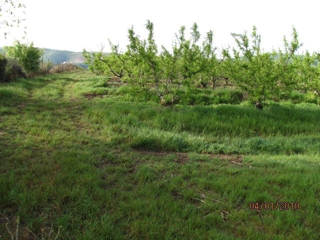 Figure 1. High infestation of Italian ryegrass in a peach orchard. (Photo: Maor Matzrafi)