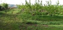 Figure 1. High infestation of Italian ryegrass in a peach orchard. (Photo: Maor Matzrafi) for UC ANR Knowledge Stream Blog