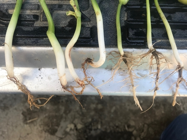 Photo 2. Lima bean seedlings infected with Fusarium root rot (4 left plants) compared to healthy roots (3 plants on right).