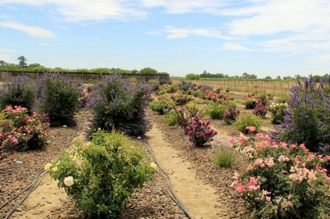 Field View Vitex agnus-castus Delta Blues™, Rosa Pink Knock Out®, Rosa 'KORbatam' Winter Sun™. Photo: Karrie Reid